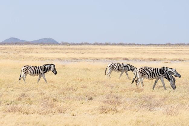 Zebry pasące się w buszu, afrykańska sawanna