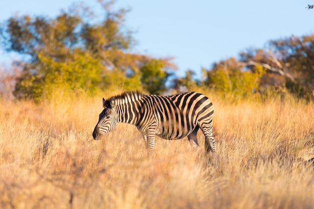 Zebry pasące się w krzaku o zachodzie słońca. wildlife safari w malowniczym parku narodowym marakele, republika południowej afryki.