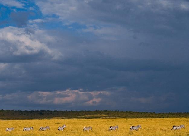 Zebry podążają za sobą po sawannie. kenia. tanzania. park narodowy. serengeti. masajowie mara.