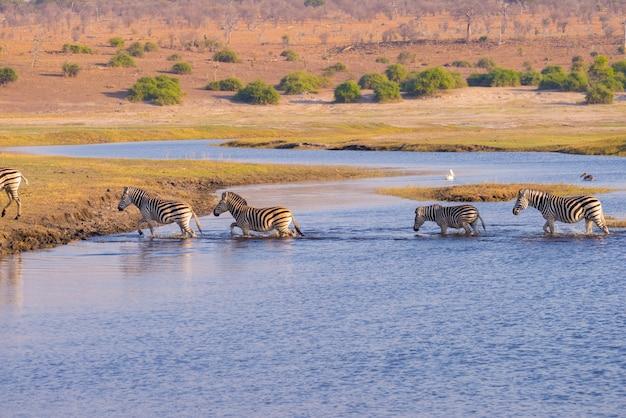 Zebry przekraczające rzekę chobe. świecące ciepłe światło słońca. wildlife safari w afrykańskich parkach narodowych i rezerwatach dzikiej przyrody.