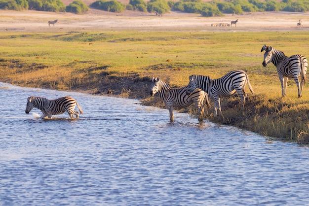 Zebry przekraczające rzekę chobe.
