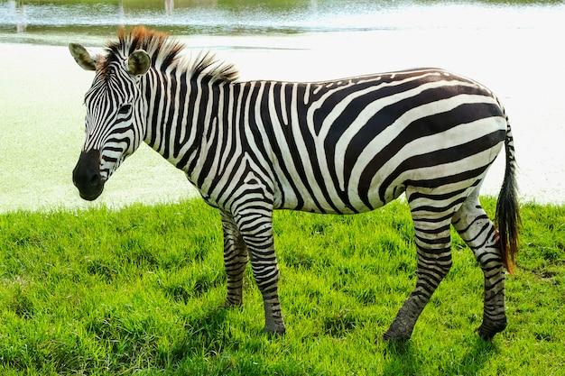 Zebry stoją na trawie.