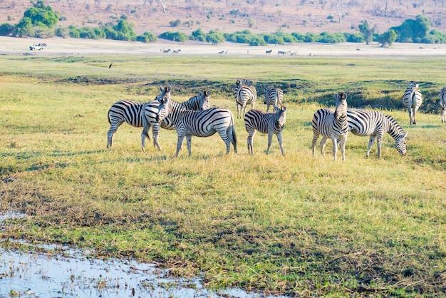 Zebry w chobe national park, botswana. wildlife safari w afrykańskich parkach narodowych i rezerwatach dzikiej przyrody.