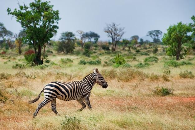 Zebry w savannah