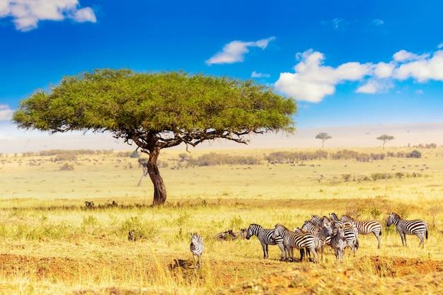 Zebry zwyczajne equus quagga spacerujące po parku narodowym masai mara w pobliżu dużego drzewa akacjowego. afrykański krajobraz. kenia, afryka.