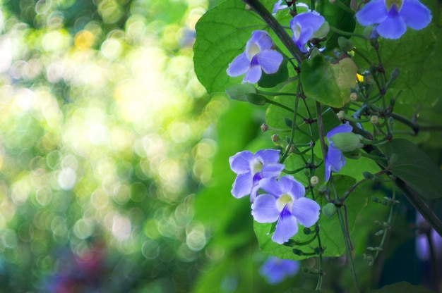Zegar bengalski kwiaty winorośli