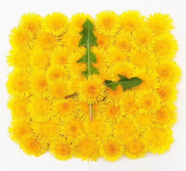 Zegar roślinny z żółtego, jasnego, dużego mniszka lekarskiego ze strzałkami z liści