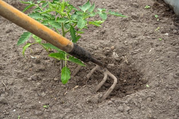 Żelazny piasek z czterema zębami rozluźnia ziemię wokół pomidora. to może być grabie.