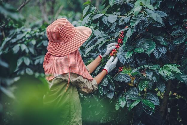 Żeńscy pracownicy pracuje w plantaci kawy rolnictwie, kawowy ogród.