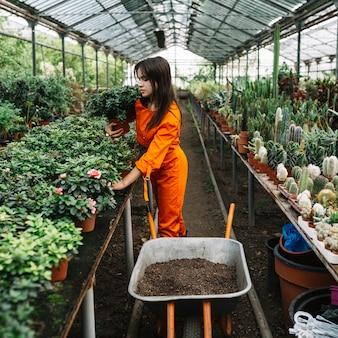 Żeńska ogrodniczka układa doniczkowe rośliny w szklarni