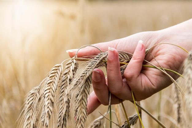 Żeńska ręka dotyka złotego ucho banatka w pszenicznym polu