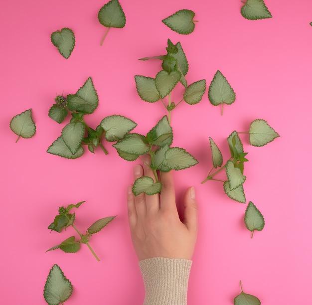 Żeńska ręka i świezi zieleni liście roślina