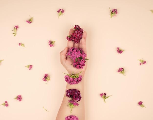 Żeńska ręka z lekką gładką skórą i pączkami kwitnącego tureckiego goździka
