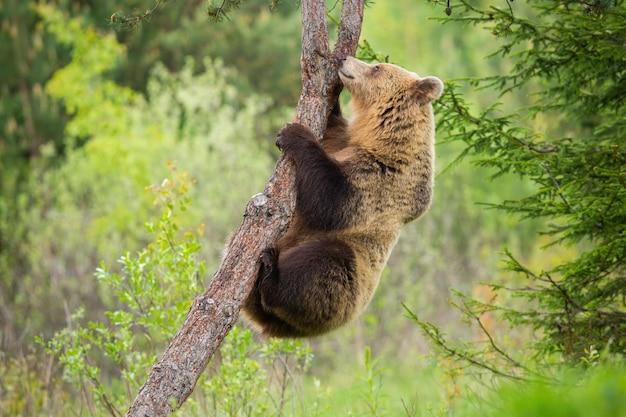 Żeński brown niedźwiedź wspina się drzewa w lato naturze z zielonym lasem behind