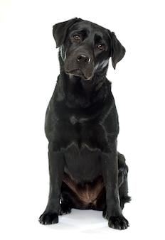 Żeński czarny labrador retriever