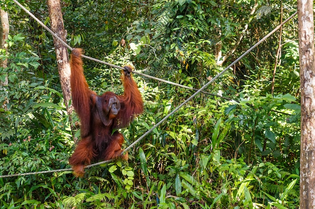 Żeński orangutan chodzi arkanami