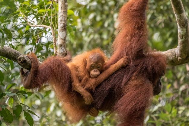 Żeński orangutan z dzieckiem