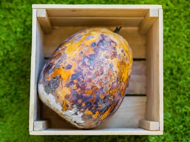 Zepsuta dynia w drewnianym pudełku oszołomione wysuszone i zgniłe warzywo poplamione na zielonym dywanie