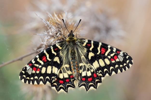 Zerynthia rumina. motyl w ich naturalnym środowisku.