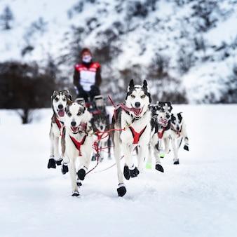 Zespół psów siberian husky na śniegu w zimie wyścig konkurencji w lesie