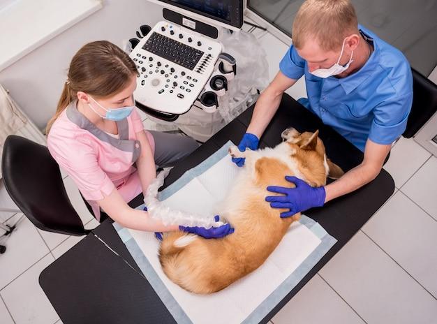 Zespół weterynarzy bada psa corgi za pomocą ultradźwięków