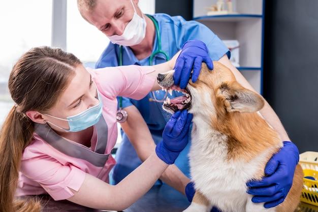 Zespół weterynarzy badający zęby i pysk chorego psa corgi