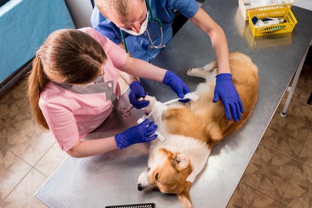 Zespół weterynarzy opatruje łapę chorego psa corgi