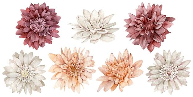 Zestaw akwarela szkarłatne, białe i pomarańczowe astry. kolekcja jesiennych kwiatów. jesienna kolekcja na białym tle.