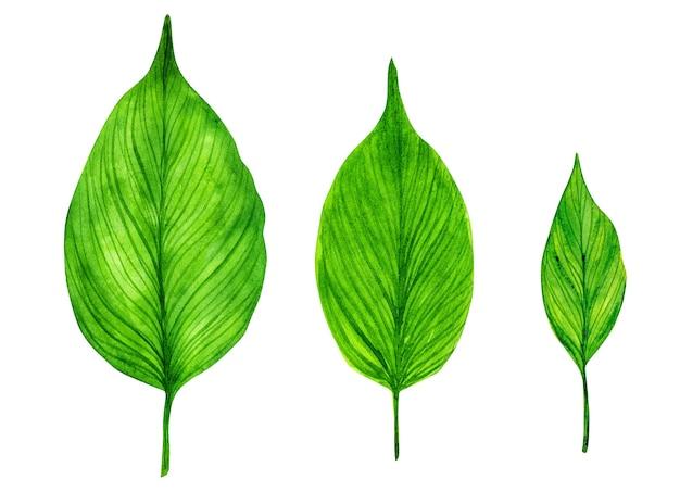 Zestaw akwarela zielonych liści na białym tle