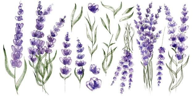 Zestaw kwiatów lawendy. akwarelowe ilustracje kwiatów i liści lawendy, idealne do projektów ślubnych i innych projektów diy.