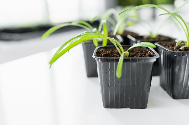Zestaw młodych sadzonek kwiatowych w plastikowych czarnych doniczkach przed przesadzeniem na białym stole. copyspace.