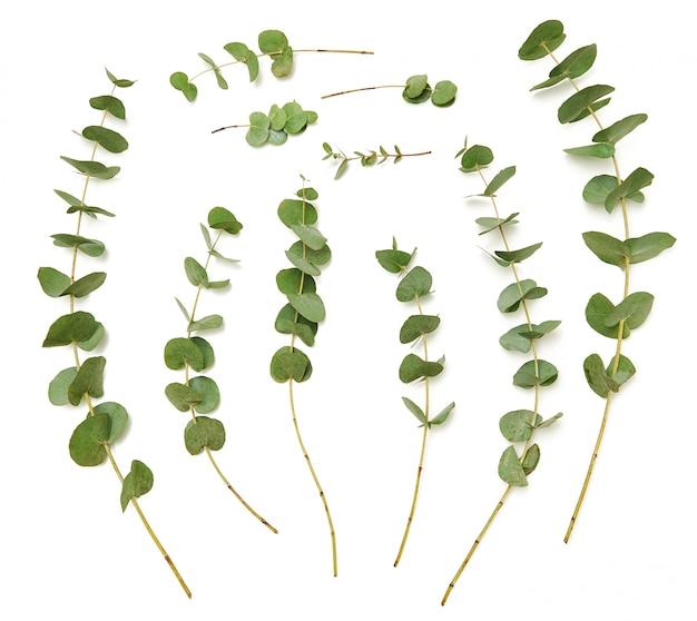 Zestaw ozdobnych zielonych gałęzi eukaliptusa na białym tle