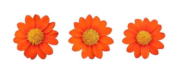 Zestaw pomarańczowy meksykański słonecznik na białym tle i mają ścieżki przycinające.