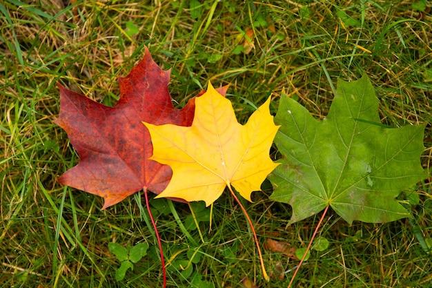 Zestaw trzech jesiennych liści klonu, czerwony, żółty i zielony. koncepcja edukacji. symbol sygnalizacji świetlnej.
