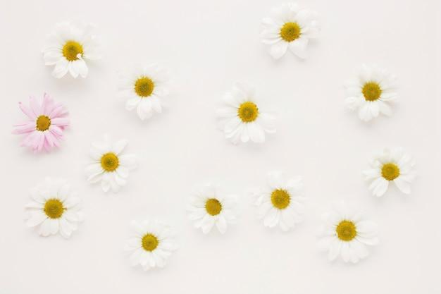 Zestaw wielu pąków kwiatowych stokrotka