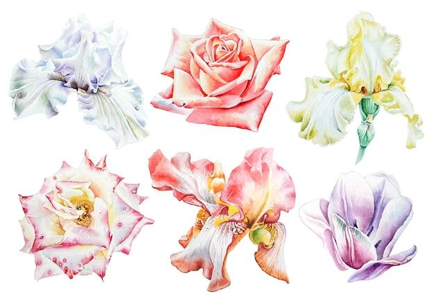 Zestaw z akwarela kwiaty. irys. róża. tulipan. wyciągnąć rękę.
