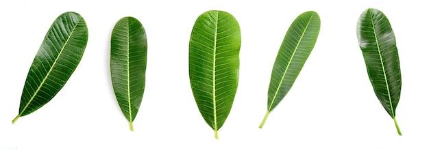 Zestaw zamknij się plumeria lub frangipani (kwiaty tropikalne, hawaiian lei flower) na białej powierzchni.