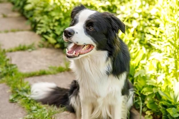 Zewnątrz portret ładny uśmiechnięty szczeniak border collie siedzi na trawie