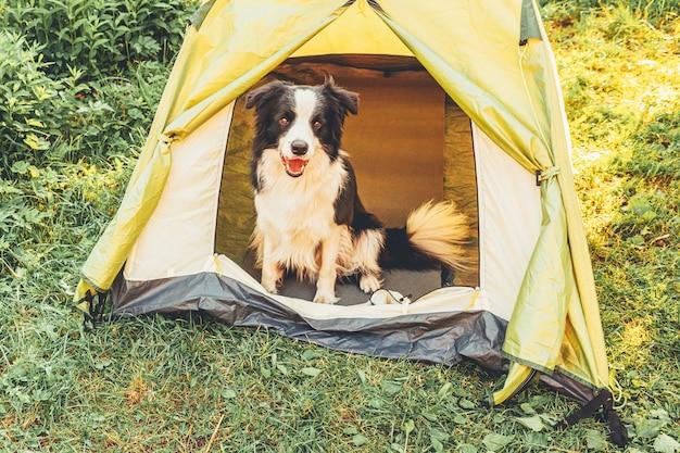 Zewnątrz portret ładny zabawny szczeniak rasy border collie siedzi wewnątrz w namiocie kempingowym. podróż zwierzaka, przygoda z psem. ochrona opiekuna i kempingu. koncepcja turystyki wycieczkowej