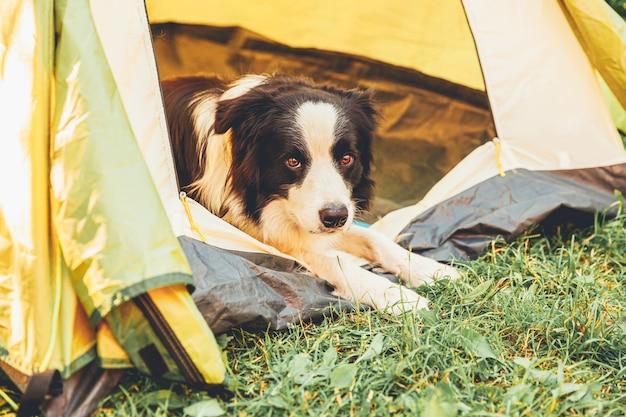 Zewnątrz portret ładny zabawny szczeniak rasy border collie w pozycji leżącej wewnątrz namiotu kempingowego. podróż zwierzaka, przygoda z psem. ochrona opiekuna i kempingu. koncepcja turystyki wycieczkowej