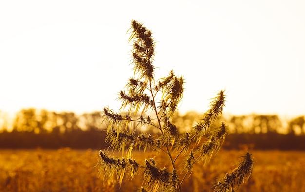 Zewnętrzna roślina konopi oświetlona ciepłym porannym światłem