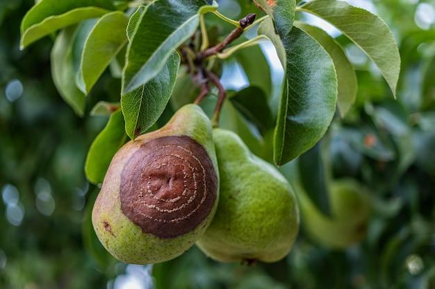 Zgniła gruszka na drzewie owocowym, porażenie monilia laxa (monilinia laxa), choroba roślin. utracone zbiory gruszek na drzewie. choroba roślin owocowych. rolnictwo.