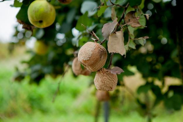 Zgniłe jabłka z pleśnią na drzewie w sadzie