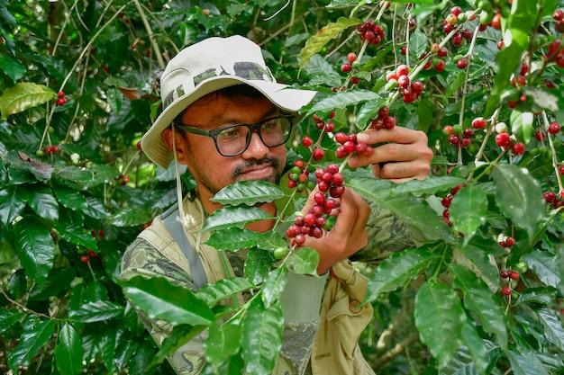 Ziarna kawy na drzewie