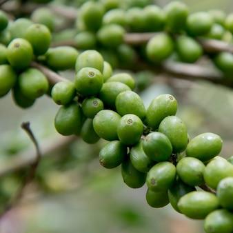 Ziarna kawy na gałęzi, finca santa isabel, copan ruinas, honduras