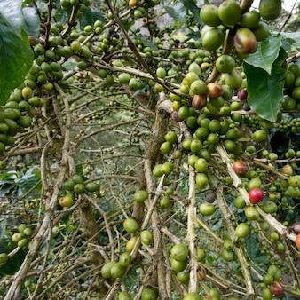 Ziarna kawy na roślinie, finca santa isabel, copan, copan ruinas, departament copan, honduras