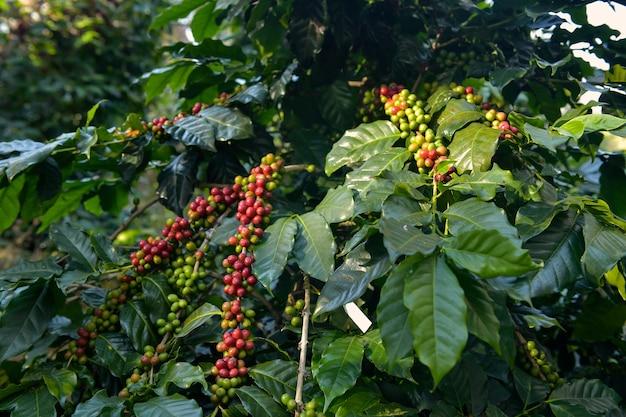 Ziarna kawy są dojrzałe, zebrane, gałęzie krzewów kawy arabica w prowincji changmai w północnej tajlandii.