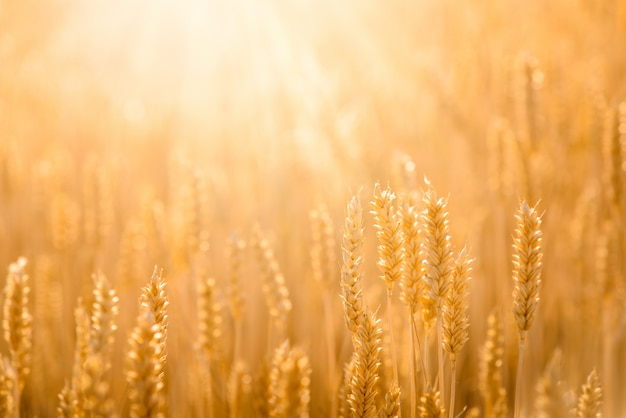 Ziarna pola. bliska charakter tła