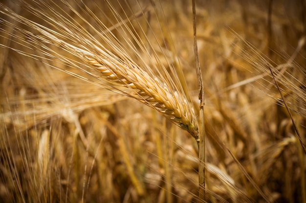 Ziarna pszenicy kłosy, żółte dojrzałe pole, przyciemniane tło rolnictwa