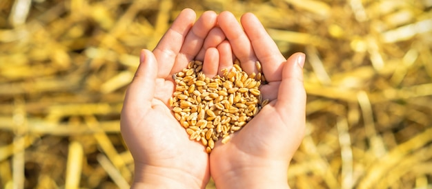 Ziarna pszenicy w dłoniach